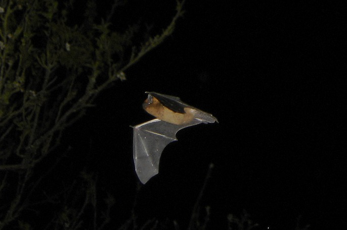 Pipistrellus flight1